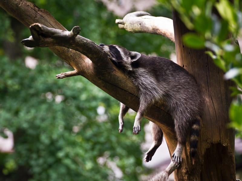 Photographer:Simon Infanger | Sleeping raccoon